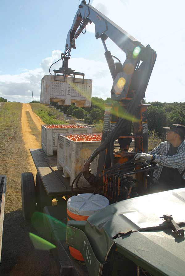 Citrus Harvest Pic
