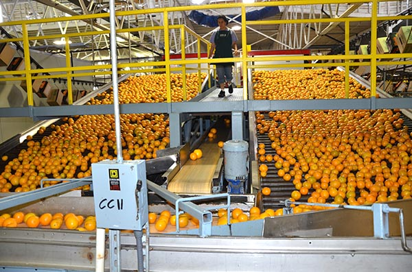 Citrus Packing Pic